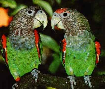 Cape Parrots: A Species Guide | Avian Avenue Parrot Forum